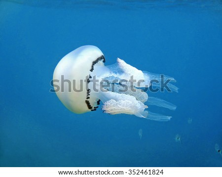 Jellyfish Rhizostoma pulmo, commonly known as the barrel jellyfish, the dustbin-lid jellyfish or the frilly-mouthed jellyfish, underwater in the Mediterranean sea, France - stock photo