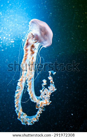 jellyfish with long stinging tentacles in natural environment