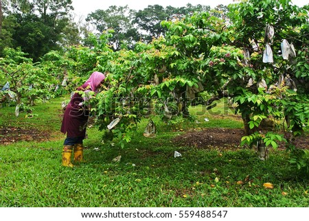 Jerantut, MALAYSIA - September 30, 2013: Unidentified farmer harvesting star fruits in a fruit orchard.