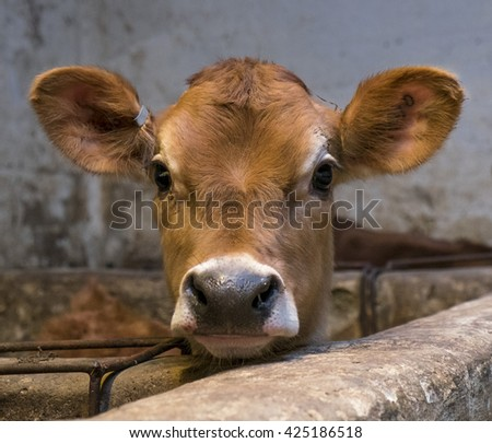 Jersey calf peering over pen