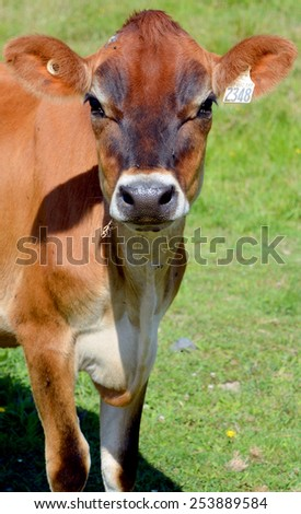 Jersey cattle are a small breed of dairy cattle. Originally bred in the Channel Island of Jersey, the breed is popular for the high butterfat content of its milk. - stock photo