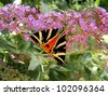 Jersey Tiger Butterfly (Euplagia quadripunctaria) on a Butterfly Bush (Buddleia) with top wings apart, revealing orange wings underneath - stock photo