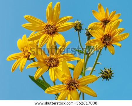 Jerusalem artichoke on background a blue sky