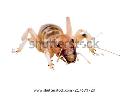 Jerusalem crickets are a group of large, flightless insects of the genus Stenopelmatus - stock photo