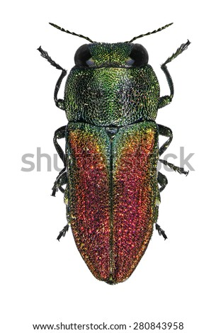 Jewel beetle (Anthaxia muliebris) isolated on a white background  - stock photo