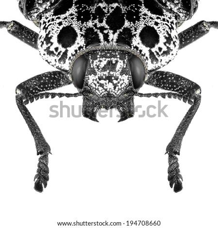 Jewel beetle (Capnodis cariosa) isolated. In black and white - stock photo