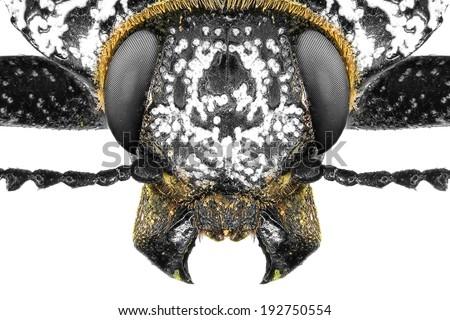 Jewel beetle (Capnodis cariosa) isolated on a white background - stock photo