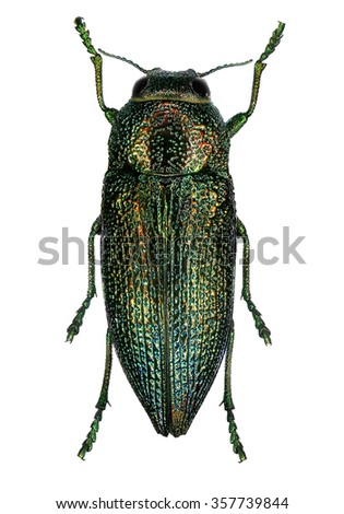 Jewel beetle (Lampetis mimosae) isolated on a white background    - stock photo