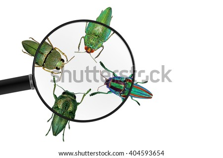 Jewel beetles (metallic wood-boring beetles). View through a magnifying glass. Isolated on a white background - stock photo