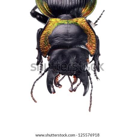 jewelry beetle, Mouhotia batesi Lewis isolated on white - stock photo