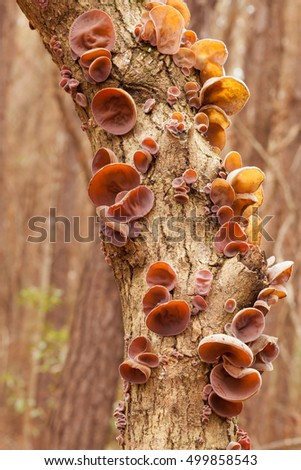 Jews Ear mushrooms, Auricularia auricula-judae, in forest on wood, tasty traditional Chinese vegetable food