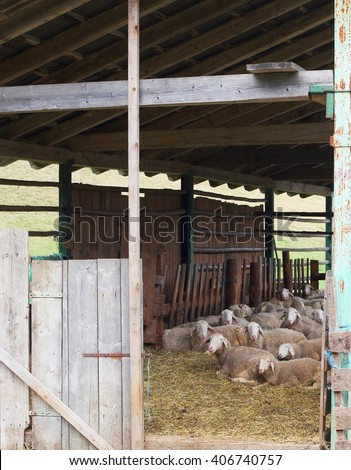Jezersko solcava sheep - slovenian autochthonous sheep breed in a barn