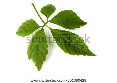 Jiaogulan, Gynostemma, Miracle grass, Southern ginseng, 5-Leaf ginseng, Penta tea.