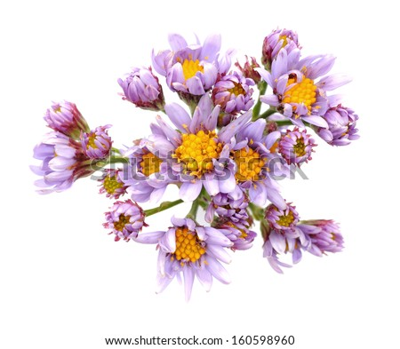 Jindai Tatarian Aster flowers isolated on white - stock photo