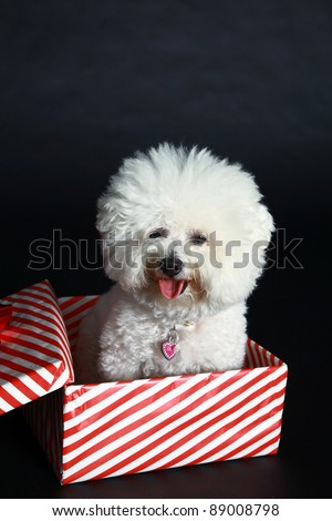 Jolie a pure breed Bichon Frise wears Her Santa Hat, Christmas Bow and sits inside a christmas present box wishing everyone a Very Merry Christmas and Happy Holiday Season, against a black background - stock photo