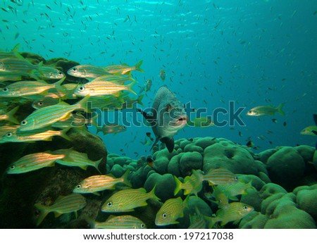 Jolthead Porgy with school of French Grunts and Blue-striped Grunts on reef in Bonaire, Netherlands Antilles - stock photo