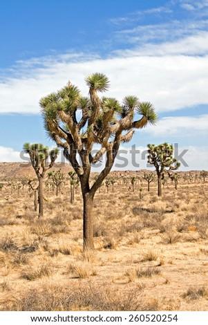 Joshua Tree  - stock photo