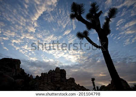 Joshua tree and rocky outcrop silhouette with nice sky background - stock photo