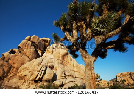 Joshua tree in  desert
