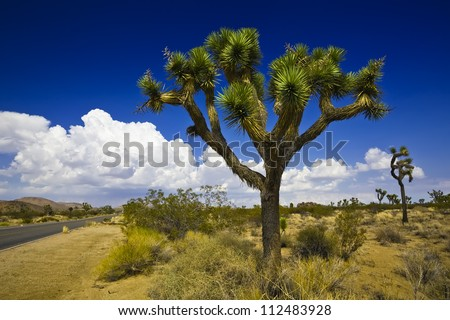 joshua tree in joshua tree national park in the USA - stock photo