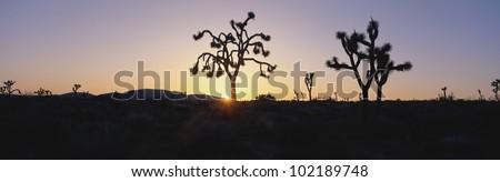 Joshua trees at sunset, California - stock photo