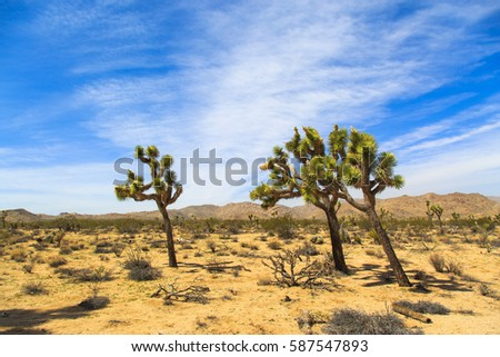 Joshua trees in Joshua Tree NP, California