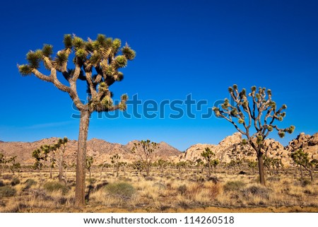 Joshua trees in the Mojave desert of California. - stock photo
