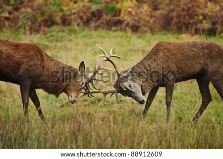 Jousting fighting red deer stags clashing antlers in Autumn Fall forest meadow - stock photo