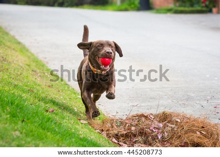 Joyful dog running fast and holding a red ball in the mouth