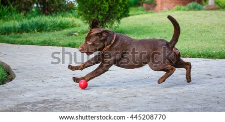 Joyful dog with the four legs in the air and chasing a red ball