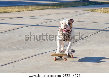 Joyful English bulldog riding a skateboard on the street