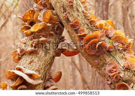 Judas Ear mushrooms, Auricularia auricula-judae, on forest tree, a delicious Chinese vegetable food