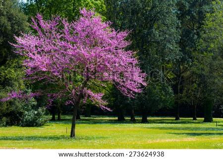 Judas tree in a park - stock photo