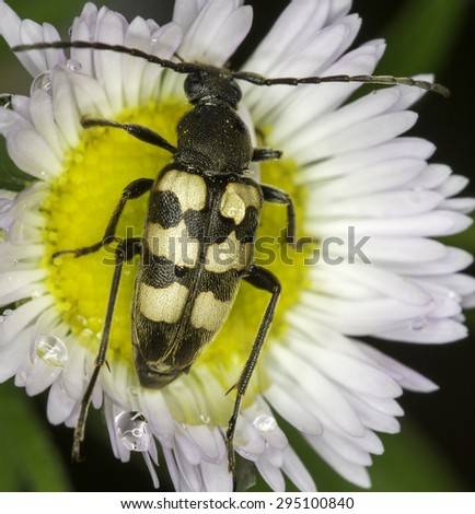 Judolia erratica / long horn beetle in natural habitat - stock photo