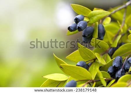 Juicy Blueberries Ripening On The Bush - stock photo