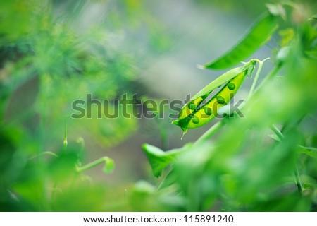 juicy, green line in the garden pea - stock photo