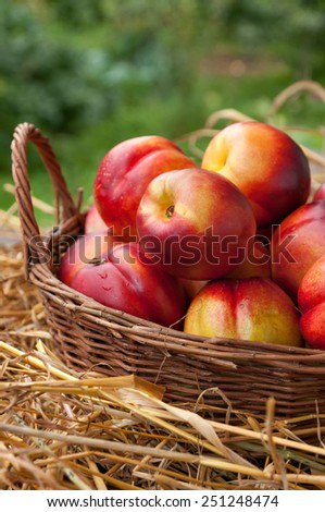 Juicy nectarines peaches on a bed of straw. Fruit in a basket. - stock photo