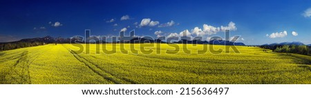 Juicy rape field under clear color clear sky with bright clouds pleases viewer saturated colors and the freshness of a new day. Rape is used as feed for the production of oil and fuel