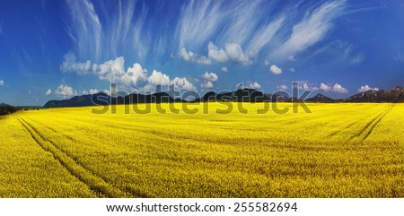 Juicy rape field under clear color clear sky with bright clouds pleases viewer saturated colors and the freshness of a new day. Rape is used as feed for the production of oil and fuel - stock photo
