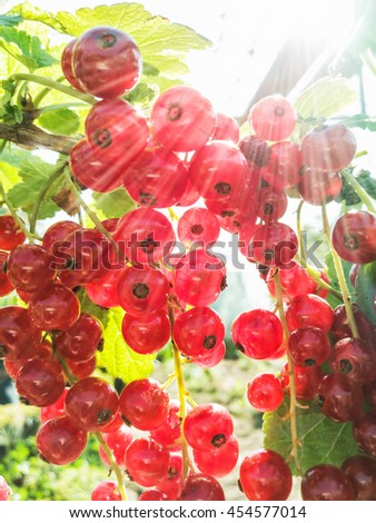 Juicy red currants in the garden. Fruit picking. Healthy food. Sun rays. Vibrant colors. Seasonal natural scene. - stock photo