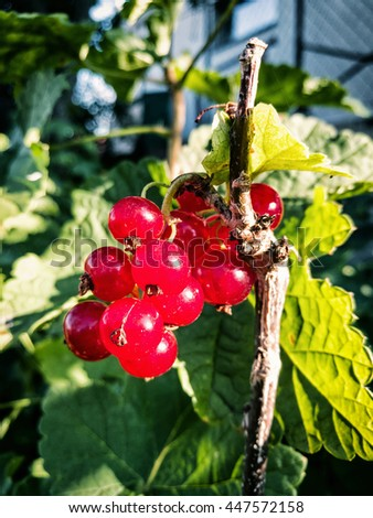 Juicy red currants in the garden. Fruit picking. Healthy food. Vibrant colors. Seasonal natural scene. - stock photo