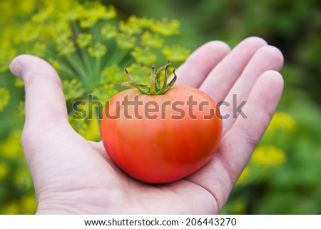 Juicy ripe red tomato in the hand - stock photo