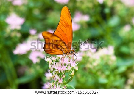 Julia Butterfly or Julia Heliconian (Dryas iulia)
