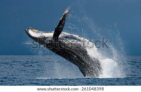 Jump humpback whale. Madagascar - stock photo