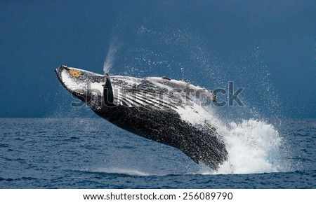 Jump humpback whale. Madagascar. The water area of the island of St. Mary. - stock photo