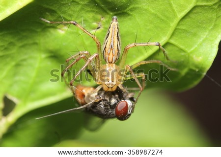 Jump spider hunting fly insect  - stock photo