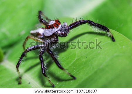 Jump spider on the leaf