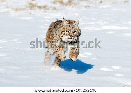 Jumping Bobcat - stock photo