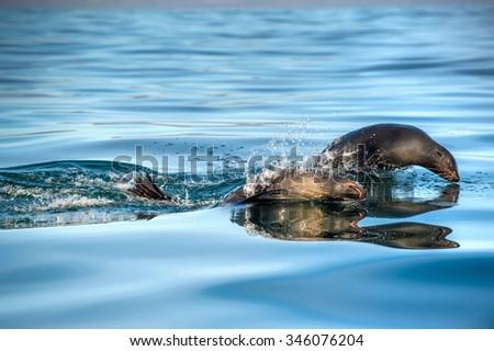 Jumping Cape fur seal (Arctocephalus pusillus pusillus) .. Kalk Bay, False Bay, South Africa - stock photo