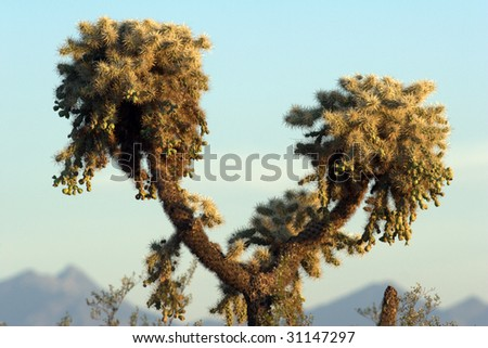 Jumping Cholla Cactus framed between two lobes of mountains. - stock photo